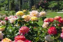 Kuidas käib rooside istutamine?