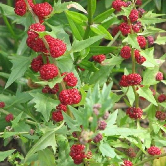 Pildiotsingu maasikaspinat tulemus