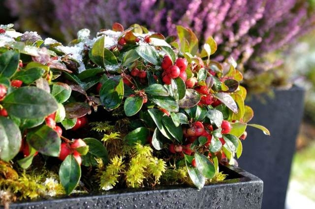 Jõulude ajal loovad talihalja punased marjad mõnusa jõulumeeleolu.