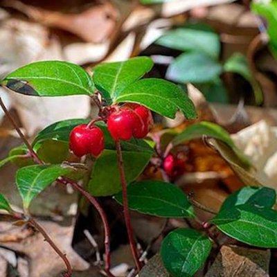 Lamav TALIHALI on kaunis talvekindel taim