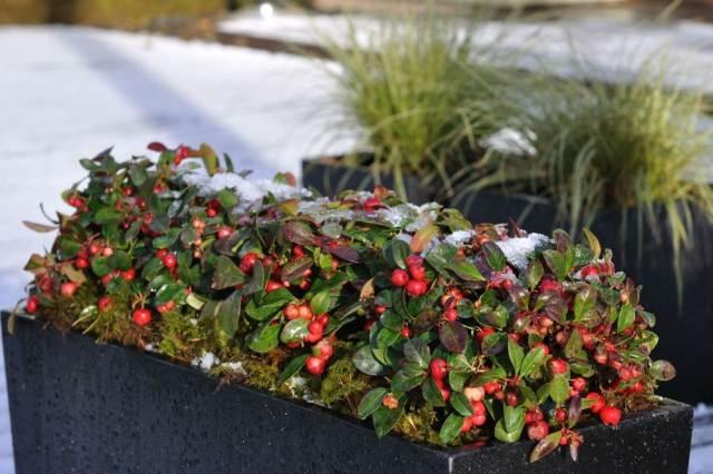 Ilusad värvilised punased marjad püsivad taimel kuni kevadeni.