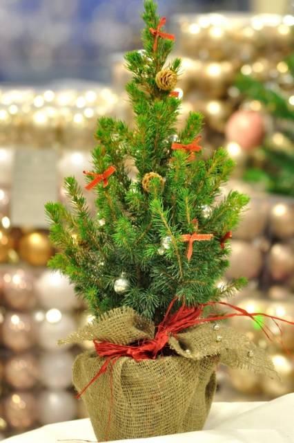 Kui potis kasvab jõulupuu