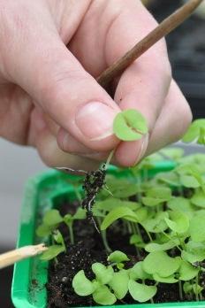 Taimede ettekasvatamine - pikeerimine ja potistamine