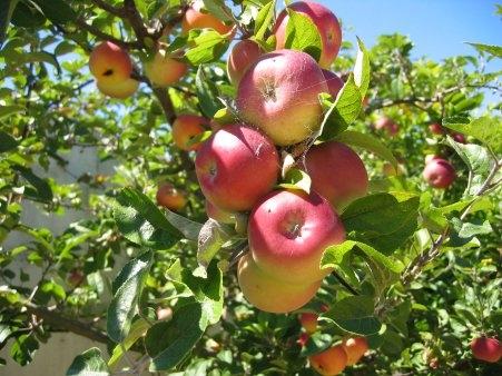 Uusi  ja unustatud õunapuu sorte ehk millist õunapuud aeda valida