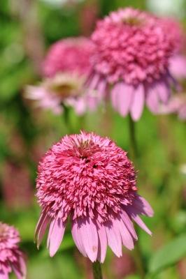 Värvikas Siilikübar on aiaehteks suve teisel poolel