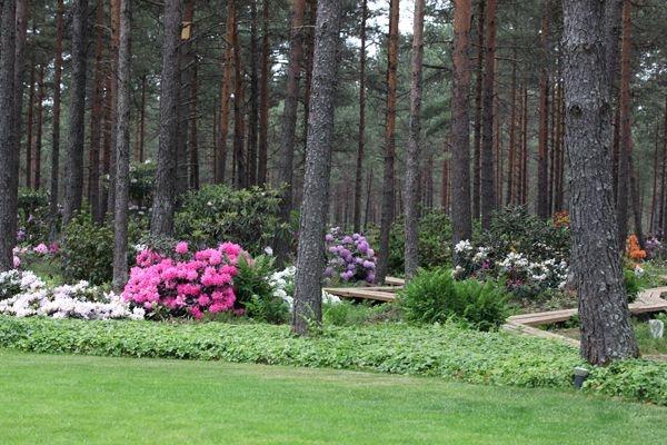 Erinevat sorti rodode õisi avaneb maist pea juuli alguseni, kuid kõrghetk jääb juuni algusesse, mil kogu metsaalune on täis õitsevaid põõsaid.