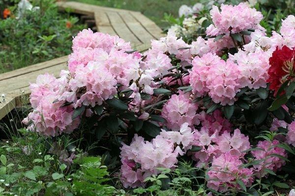 Rododendronite vikerkaar männimetsas