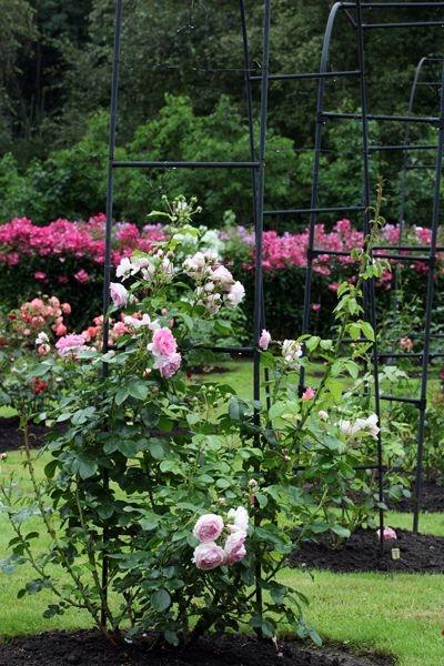Roosikirest haaratud aed