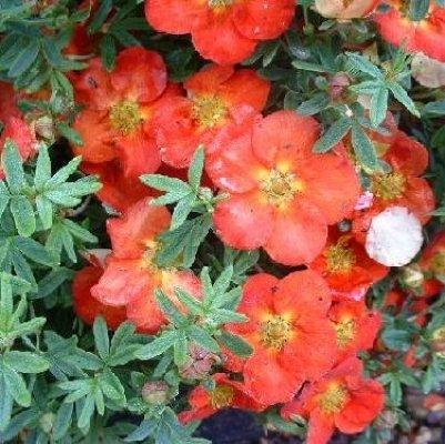Põõsasmaran - õites põõsas jaanipäevast külmadeni