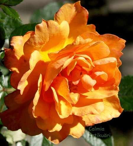 Näpunäiteid rooside istutamiseks ja hooldamiseks
