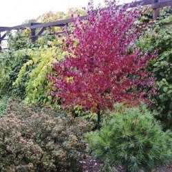 Punaste õhtute purpur - milline on kõige kirkama sügisrüüga taim?