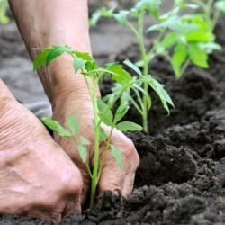 Mis tagab köögiviljataime täieliku haiguskindluse?