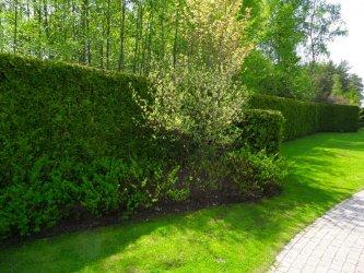 Pilt 3 - Elupuuheki ääres taimekoosluses on efektne tüvel Siberi kontpuu.