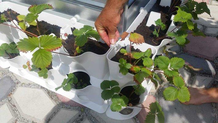 Pilt 2 - Maasikad terrassil kastmissüsteemiga taimeseina moodulites
