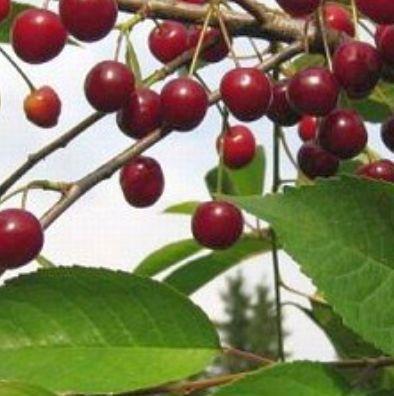 Agronoom Hillar Nassar soovitab: Madal- ehk hapukirsipuud sobivad hästi kodaeda!