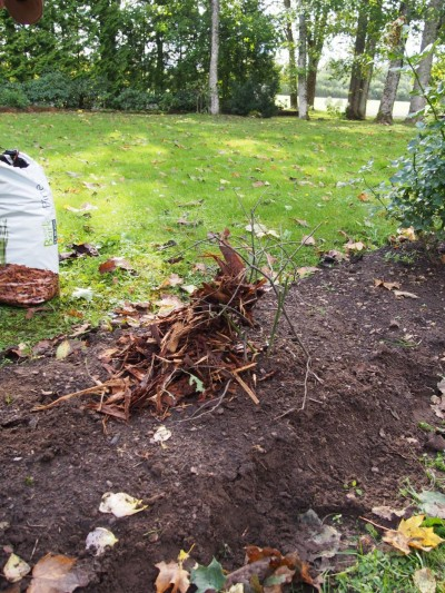 Enne multšimist tuleb roosivõrsed katta okstega, et taime ja multšikihi vahele jääks isoleeriv õhuvahe. - 3