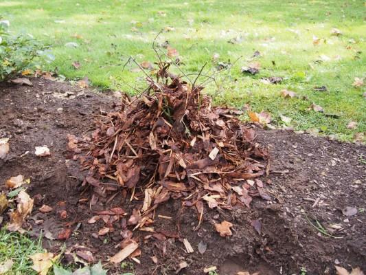 Tagasilõigatud rooside ümber tuleks oktoobris kuhjata kuni 7 cm paksune multšikiht ja peale maa külmumist novembris asetada roosidele peale kuuseoksad. - 4