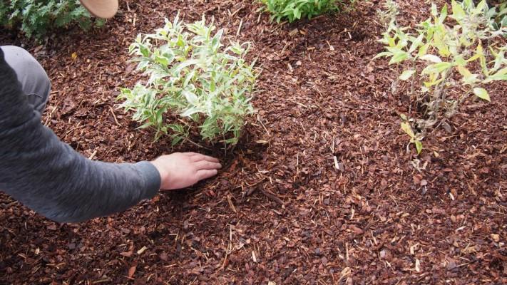 Vahetult taimede varte ümbert tuleb multš eemale tõmmata, et taim liigniiskuse tõttu hauduma ei läheks. - 3
