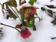 Varakevadised õied lumes