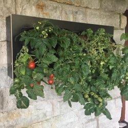 Tomatid majaseinal kastmissüsteemiga tamieseina moodulitega