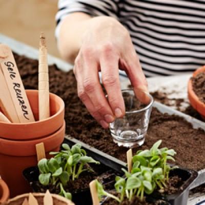 Puistake pottidesse, külvikastidesse või spetsiaalsetesse patareidesse Külvimulda. On oluline, et anumad oleksid puhtad. - 1