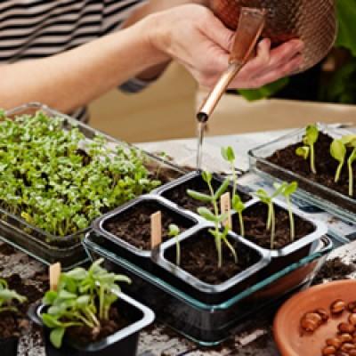 Torgake suured seemned ükshaaval väikestesse pottidesse. Mulda võib seemne jaoks näiteks pliiatsiga augu ette teha. - 2
