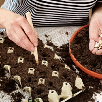 Katke külv õhukese mullakihiga, mille paksus on võrdne seemne suurusega. Kõige paremini õnnestub see sõela abil. - 1