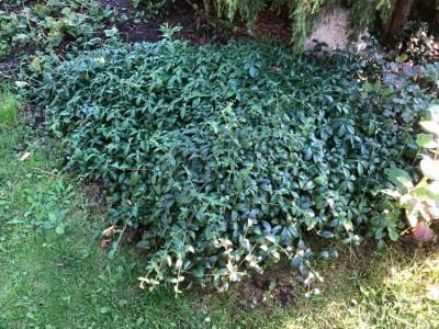 Pilt 2 - Hea kattetaim koduaeda - roheline ka talvel!