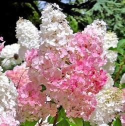 Pilt 2 - Hortensiad - hilissuvise aia pilgupüüdjad