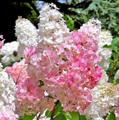 Pilt 2 - Grandiflora hortensiapõõsal on kuni 45 cm suurused koonilised tihedad õisikud on puhkedes kreemikasvalged, hiljem roosaka varjundiga.