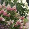 Hortensiad - hilissuvise aia pilgupüüdjad