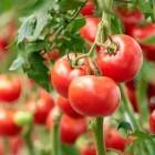Tomatitaimede ettekasvatamise õpetus
