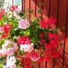Kuidas ise kasvatada vastupidav ja õiterohke suvelilleampel?