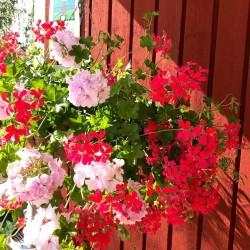 Suvelilleampel: kuidas ise kasvatada vastupidav ja õiterohke ampel?