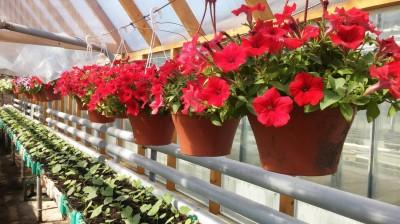 Pilt 3 - Kuidas ise kasvatada vastupidav ja õiterohke suvelilleampel?