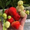 Magusad maasikad oma rõdult – kasvatamist väärt!