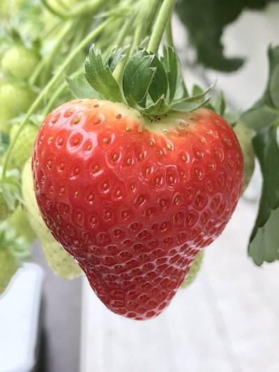 Praegu kõige populaarsem maasikasort Sonsation - Foto Twitter @huetinklelies - 2