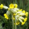 Tavaline kevadlill Nurmenukk on mitmekülgne ravi- ja salatitaim