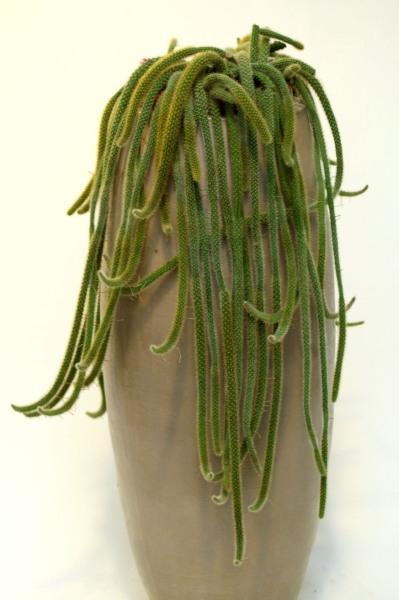 Kuidas kasvatada kaktuseid
