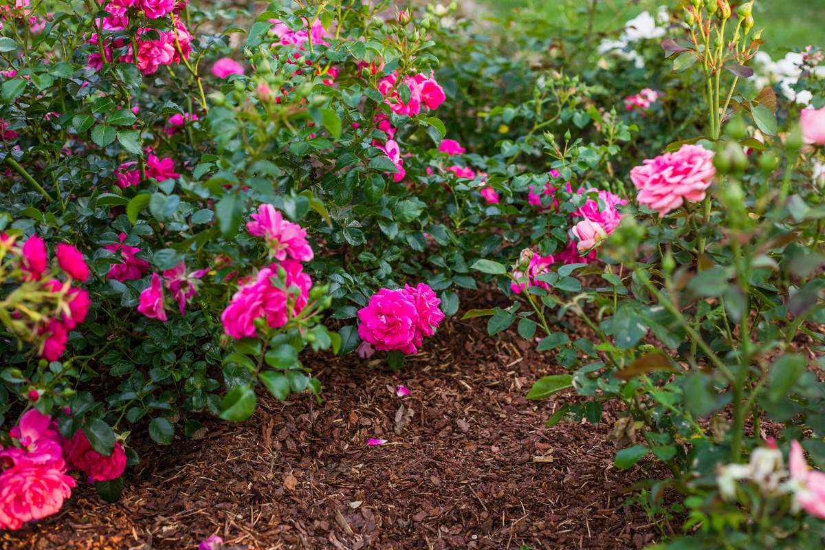 Puukoor mõjub roosidele hästi