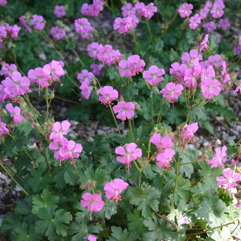 • Viljatu kurereha - Geranium cantabrigense