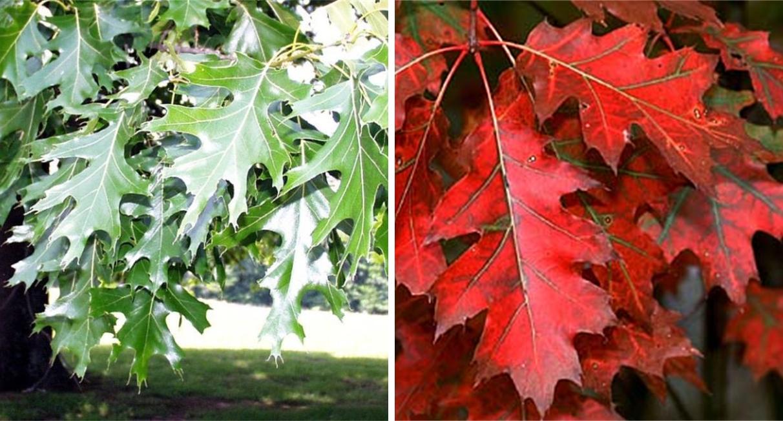 Punane tamme Quercus rubra - foto: Neeva Aed