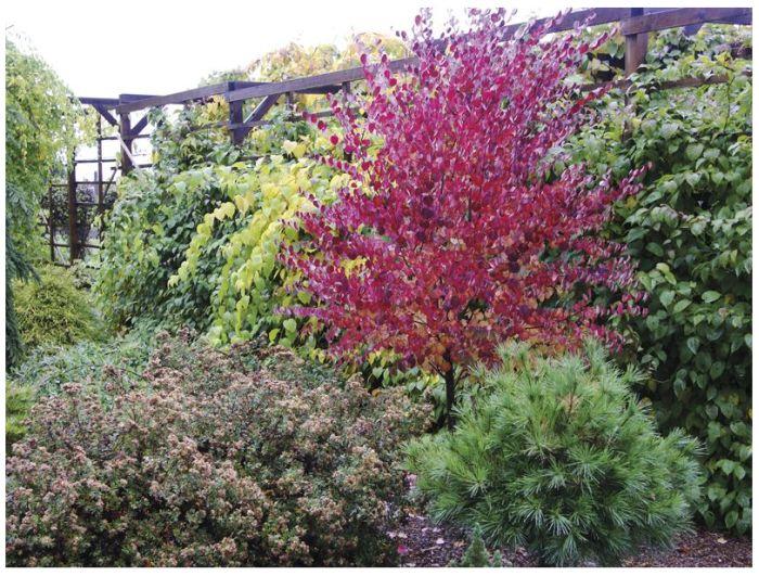Jaapani juudapuulehik Cercidiphyllum japonicum.