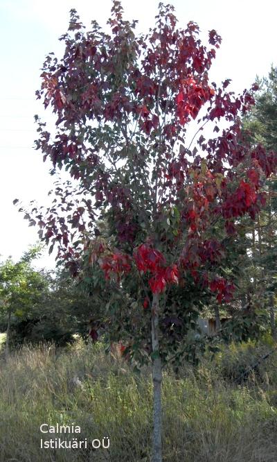 Punane vaher Acer rubrum - Calmia Istikuäri