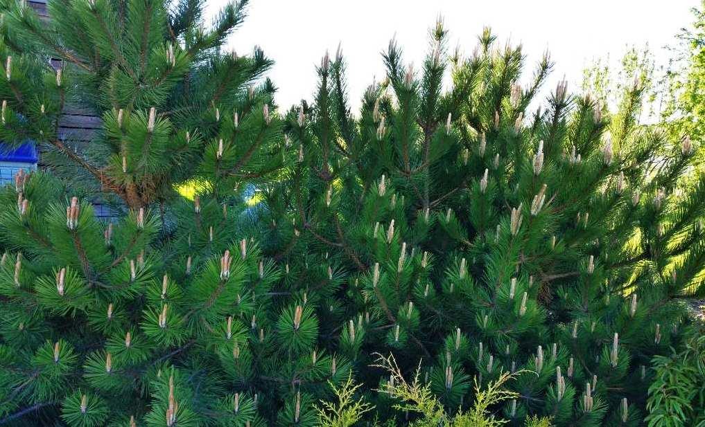 """Fotol: vabakujuline hekk suureokkalise """"Musta männiga"""". Iga-aastaselt uusi kasve kärpides saab männi kasvu oluliselt piirata ja see muutub paksuks ja tihedaks nagu põõsas."""