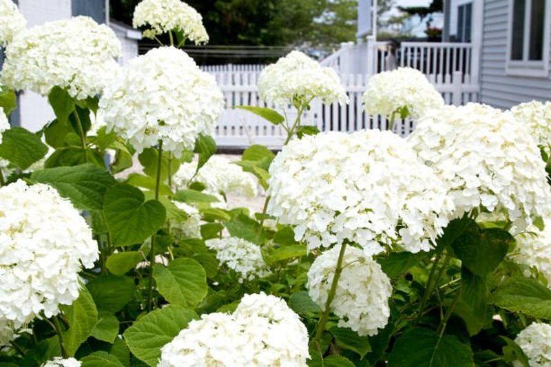 Blossom Of White Hydrangea Hortensia In A Garden, Istockphoto.com